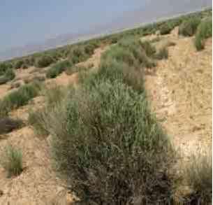 آتریپلکس گیاهی برای شوره زار