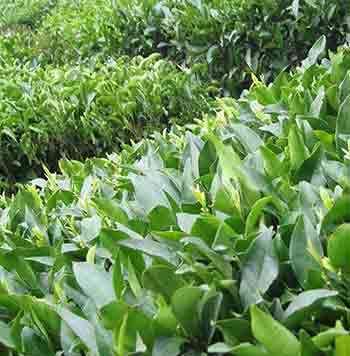واردات 30 هزار تن چای در ابتدای سال
